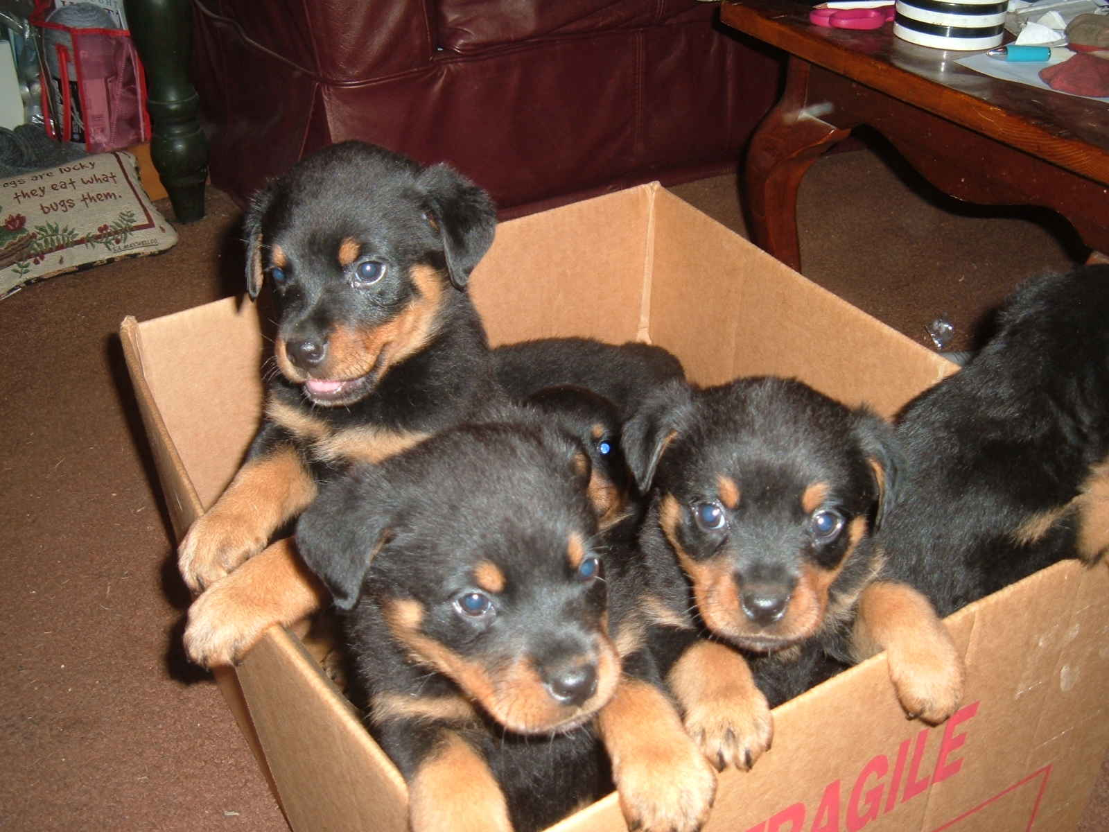 five cute Rottweiler puppies playing in card box, cute baby Rottweilers