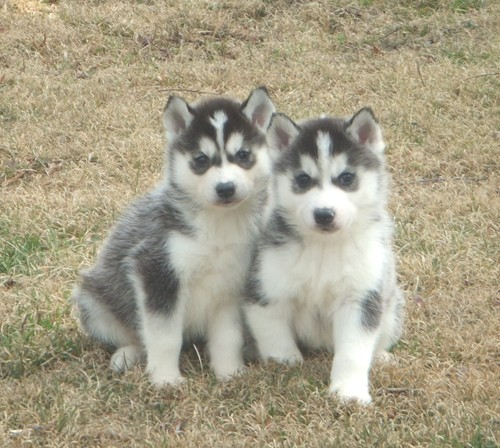 Quality Siberian husky Puppies