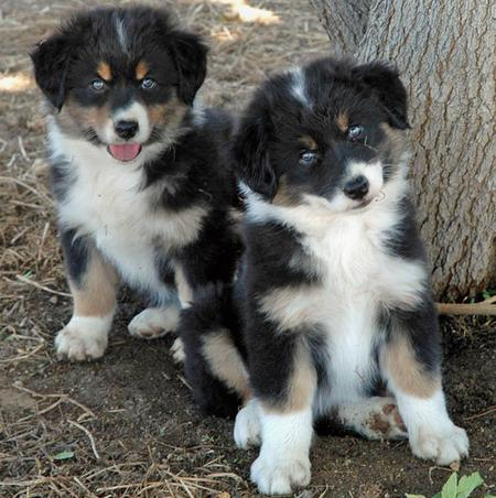 Australian Shepherd Puppies on Australian Shepherd Puppies Ready     Monaghan  Ireland   Free