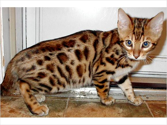 Bengal Cats For Sale In Western Ky