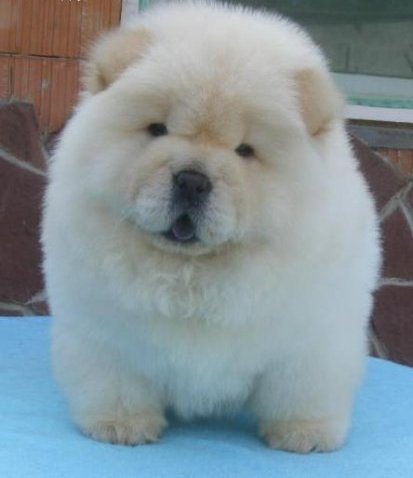 Chow Chow Puppies on White Cream Chow Chow Puppies For Good Homes   Australia   Free