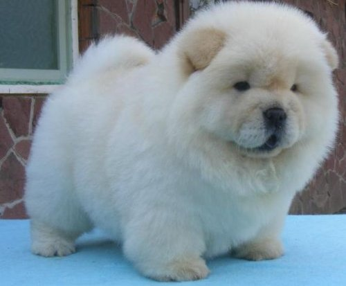 White Cream Chow chow puppies for good homes - Melbourne, Australia