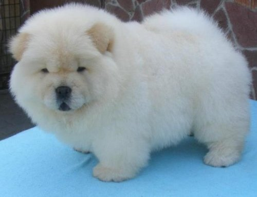 What kind of dog looks like a teddy bear
