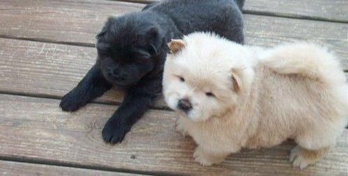 Chow Puppies For Sale - Letterkenny, Ireland - Free