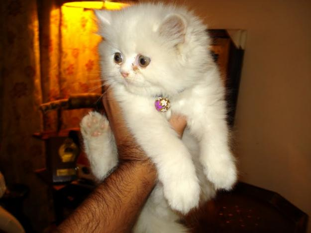 Persian kitten for sale pakistan
