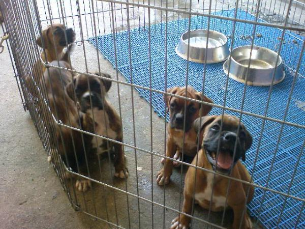 Boxer Dog Puppies For Sale Philippines
