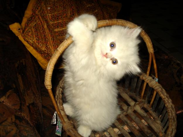 Pictures Of Cats And Kittens To Color. Color: Pure White , Eyes: