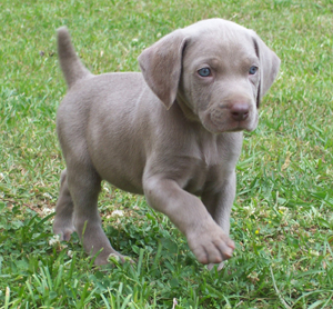 Weimaraner Puppies on Weimaraner Puppy For Cute Homes   Bournemouth  Uk   Free Classifieds