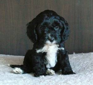 Spoodle Puppies on Spoodle Puppies   Adelaide  Australia   Free Classifieds   Muamat