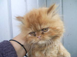 Persian x kittens for sale melbourne