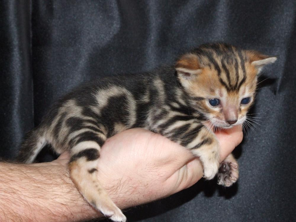 teacup bengal kittens galleryhip     the hippest