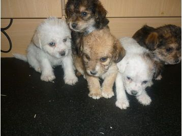 yorkshire terrier cross with bichon frise 4 weeks free insurance ...