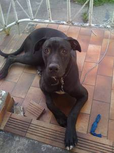 Great Dane x Mastiff Cross For Sale - Sydney, Australia - Free ...