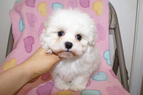 Beautiful Maltese Pupp...