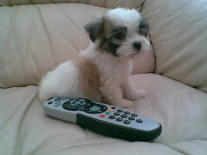 All About Shih Tzu Puppies For Sale Australia Dogz Online