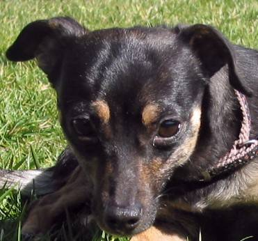 manchester terrier small young female dog ella o toole ella o toole is
