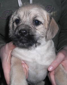 pug a poo puppy photo courtesy of 3 pines kennels Search Pictures ...