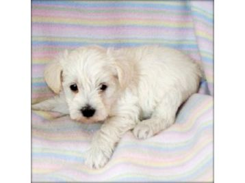 ... schnoodlestoy poodles from schnoodle puppy available small hobbyfind
