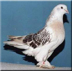 Badge Tumbler Pigeons for Sale http://www.muamat.com/classifieds/158/posts/8_Pets_Animals/88_Birds/3860430_turkish_tumbler_pigeons_for_sale.html