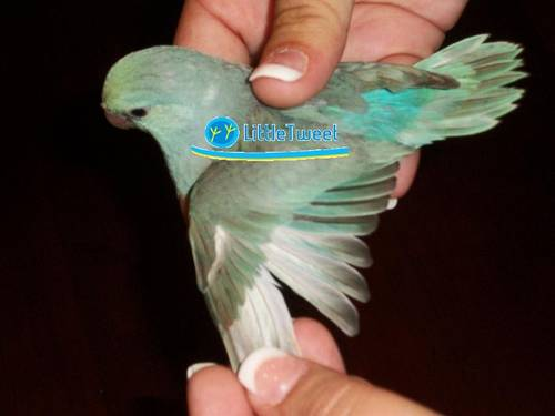 Parrotlet sale chicago