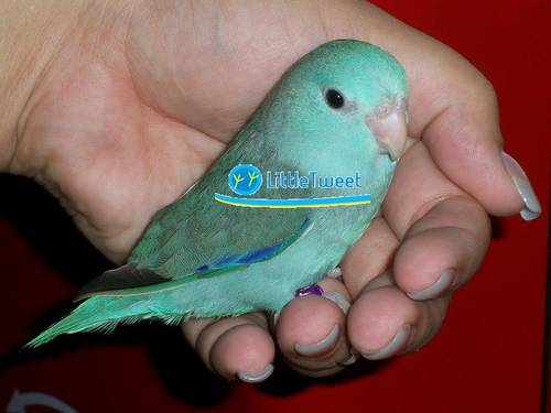 Parrotlet For Sale Philippines Sweet Parrotlets For Sale