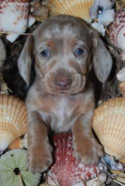 Something is. Adult dachshunds groundhounds mini not our sale and the