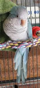 Lovely blue hand raised Quaker parrot ,Talking & Friendly