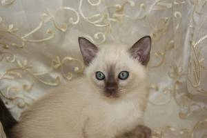 Female Tonkinese Kittens