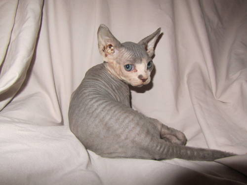 Striped kittens for sale