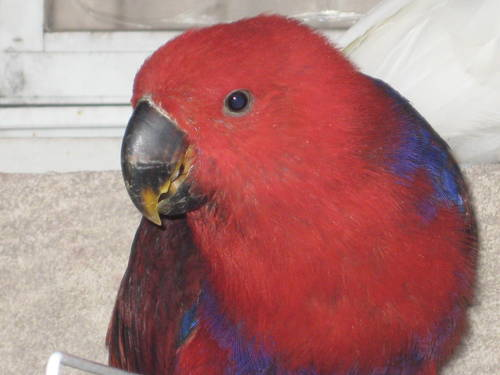 Parrots as Pets For Sale Red Eclectus Parrot For Sale