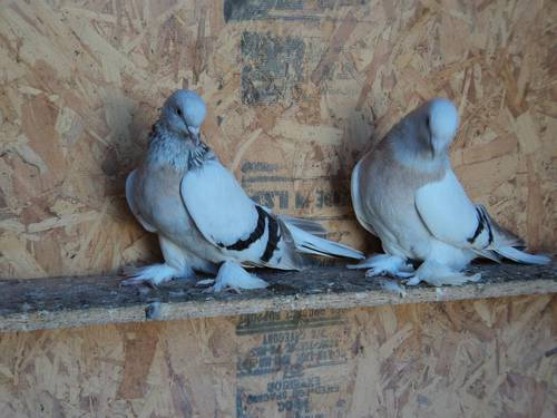 Badge Tumbler Pigeons for Sale http://www.muamat.com/classifieds/140/posts/8_Pets_Animals/88_Birds/5784450_turkish_tumbler_pigeon_for_sale_coop_tumbler.html