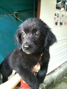 Golden Retriever cross Border Collie Puppy For Sale! - Singapore ...