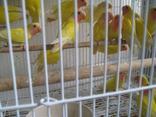 Love Bird Picture For Sale Yellow Lutino Lovebirds