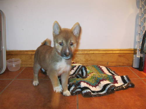 Shiba Inu puppies! Mini-Akita!! Super reduced!! - Los Angeles, USA ...