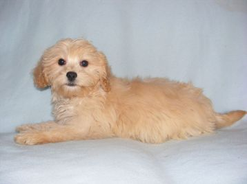 Cavapoo Puppies on Cavapoo Puppies   London  Uk   Free Classifieds   Muamat