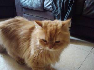 adorable teacup persian new york adorable teacup persian female mother ...