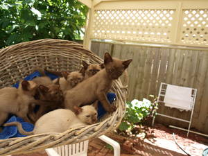 Tonkinese Kittens 3 Males and
