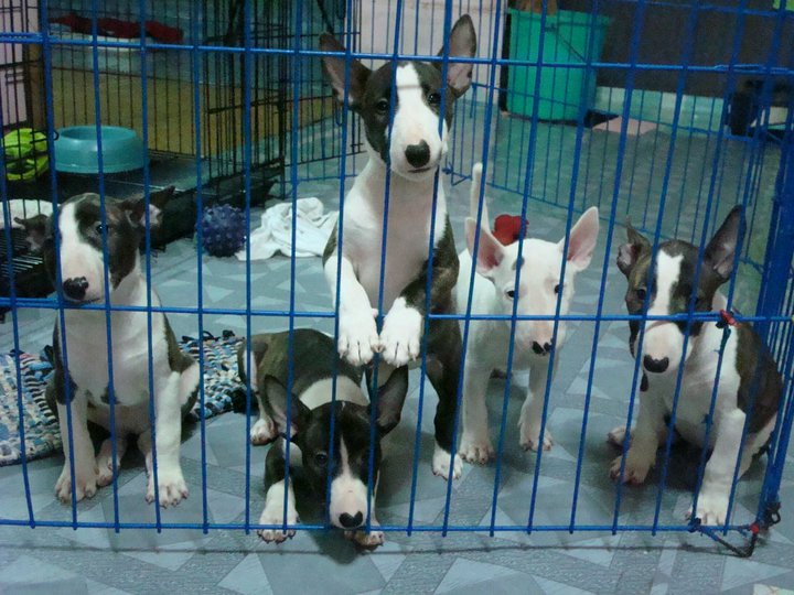 Mini Bull Terrier Puppies For