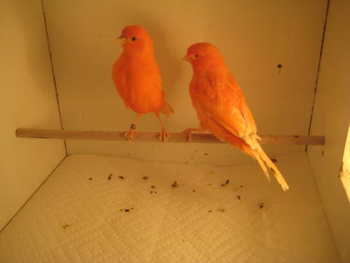 Red Canaries For Sale uk Red Factor Canaries For Sale
