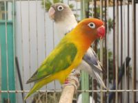 lovebirds  Birds Rehome Buy and Sell  Preloved