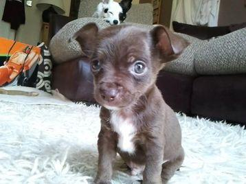 Chihuahua cross Jack Russell puppies for sale - London, UK - Free ...