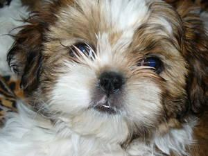 Maltese X Shih Tzu Puppies For Sale Melbourne Australia Free