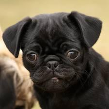 Pure Black Pug Puppies For Sale - Sydney, Australia - Free