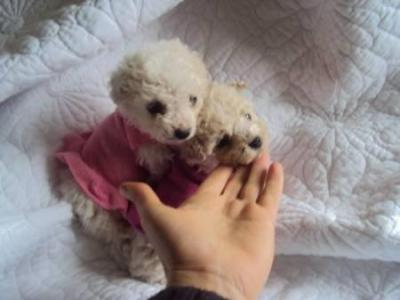 Micro Toy Dogs Poodle Micro Toy