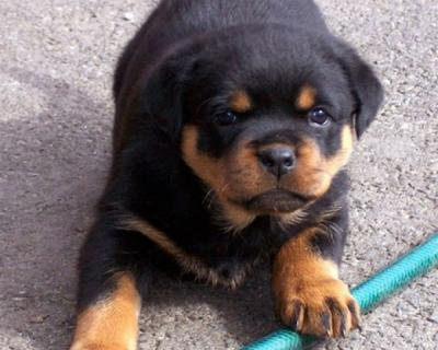 Rottweiler Puppies For Sale Solapur India Free Classifieds Muamat