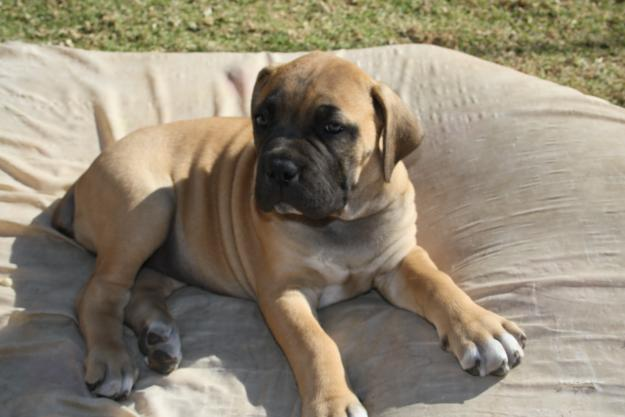 Pure Bread Boerboel Puppies For Sale - Johannesburg, South Africa