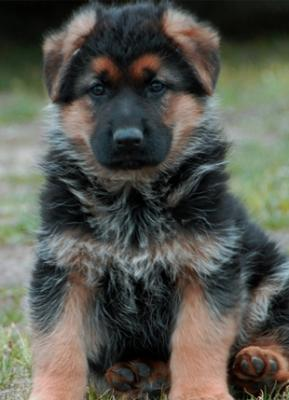 SHOW QUALITY GERMAN SHEPHERD PUPS FOR SALE - Gwalior, India