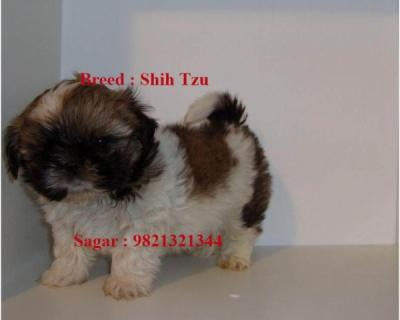 Shih Tzu puppies IMPORTED for Sale - Coimbatore, India