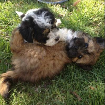 Maltese x chihuahua puppies For sale - Sydney, Australia - Free ...