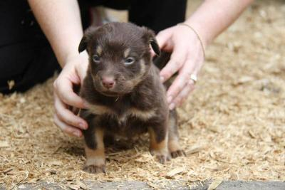 Kelpie x Border Collie Pups For Sale - Sydney, Australia